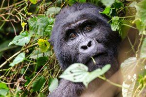 Gorila fotografiado en Kenia en el curso de primatología