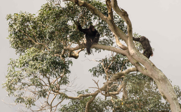 Primates uganda curso